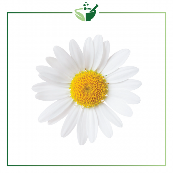 Chamomile German Essential Oil-01