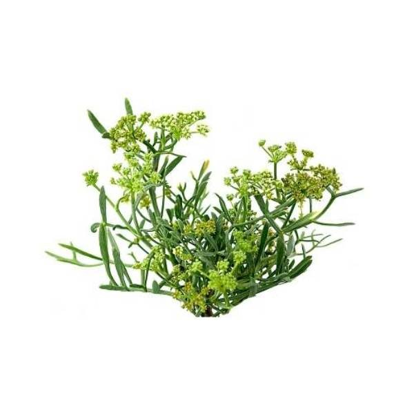 Sea-fennel-extract-plant